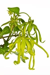 ylang ylang flowers